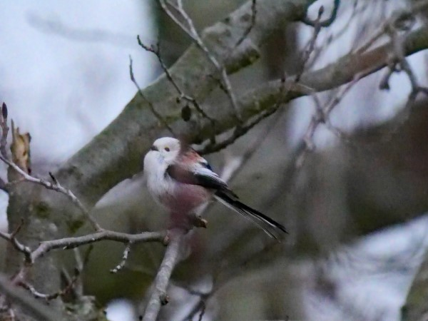 White-headed Long-tailed Tit  - Hermann Daum