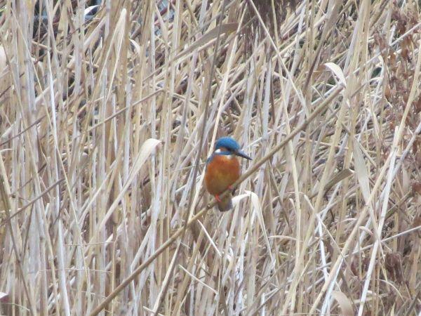 Common Kingfisher  - Martina Möllenkamp