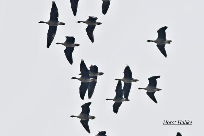 Pink-footed Goose  - Horst Habke