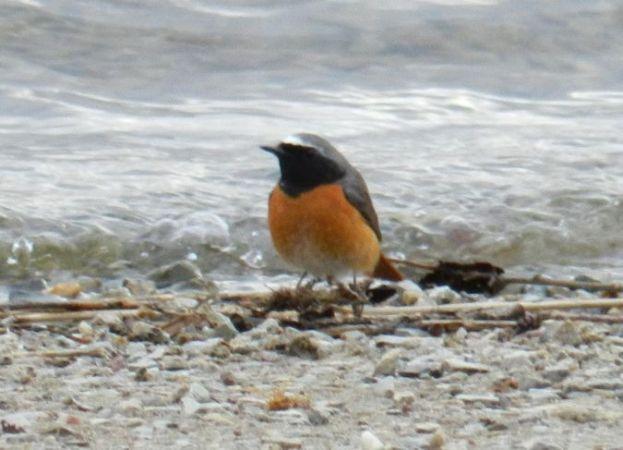 Common Redstart  - Peter Mandzak