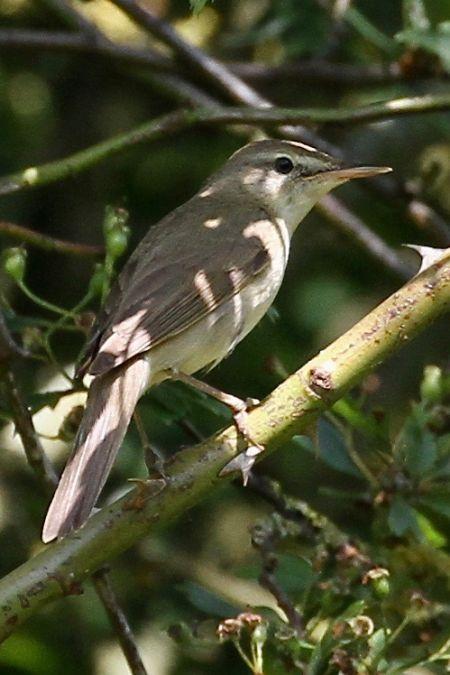 Blyth's Reed Warbler  - Thomas Kuppel