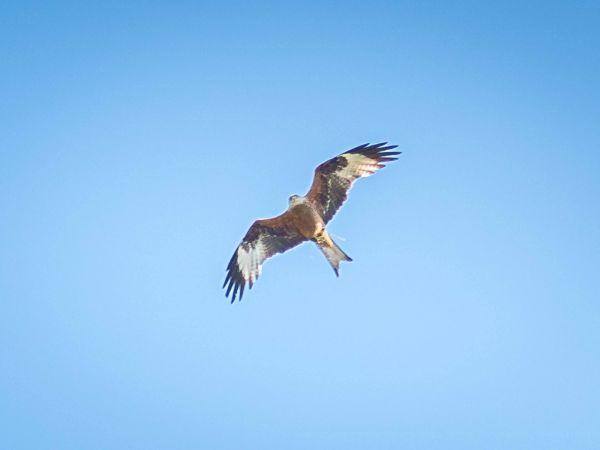 Red Kite  - Jens G. Kube