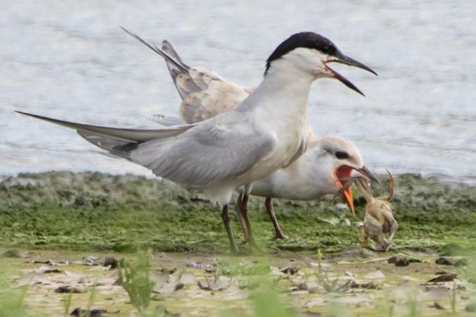 Gull-billed Tern  - Gerd-Michael Heinze