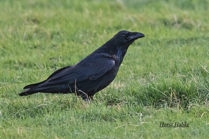 Northern Raven  - Horst Habke