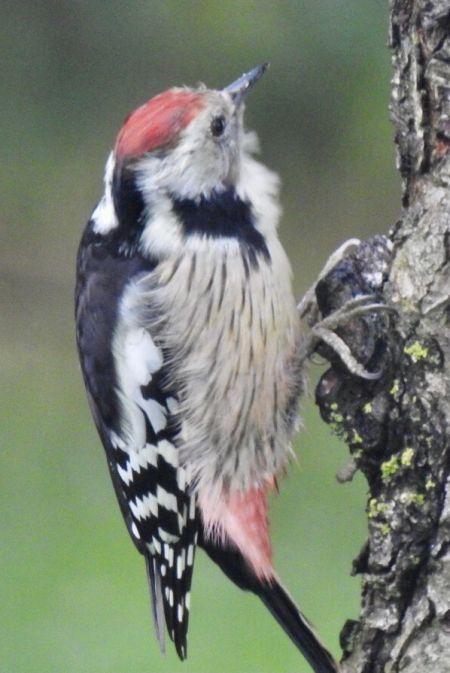 Middle Spotted Woodpecker  - Karoline Petersen Poggensee