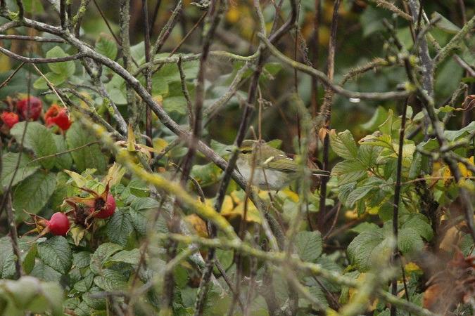 Pallas's Leaf Warbler  - Lars Redetzke