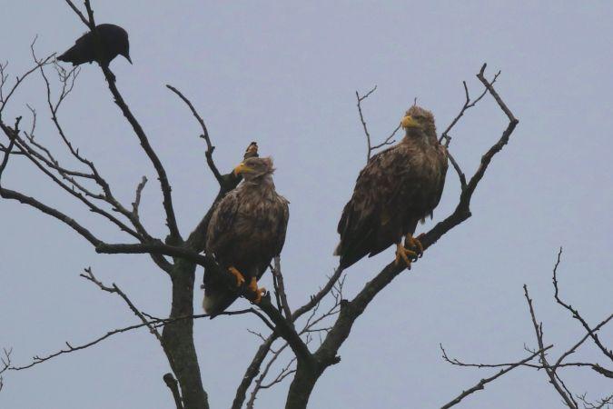 White-tailed Eagle  - Eckhard Steffen