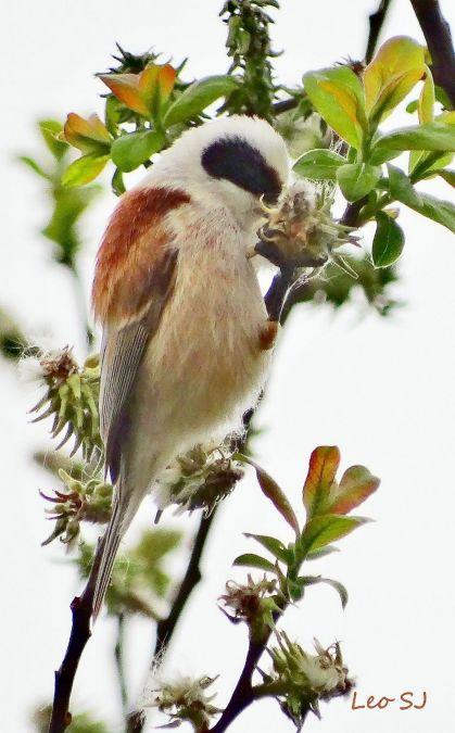 Pájaro Moscón  - José F. Esparcia