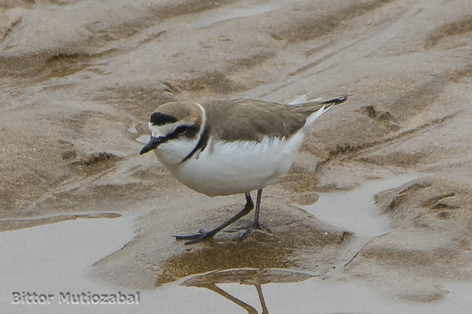 Kentish Plover  - Bittor Mutiozabal