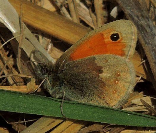 Coenonympha pamphilus  - Víctor Marugán