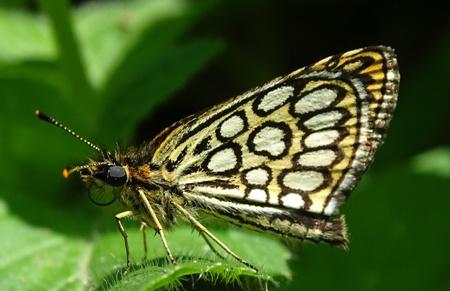 Heteropterus morpheus  - Iker Novoa