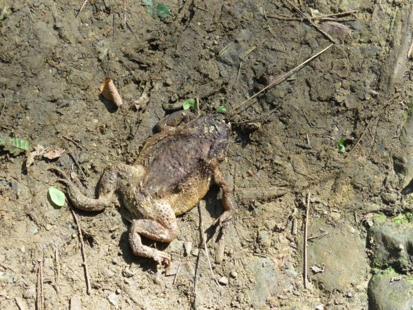 Common Toad (B. spinosus)  - Alfredo Herrero