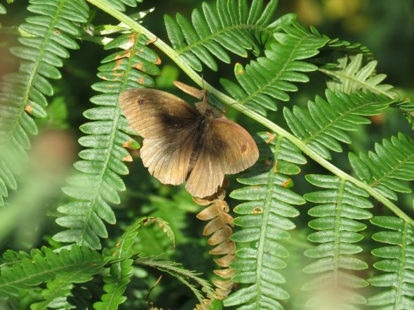 Meadow Brown  - Alfredo Herrero