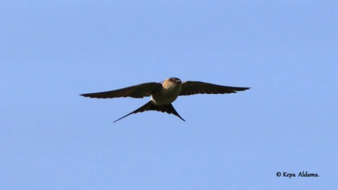 Red-rumped Swallow  - Kepa Aldama