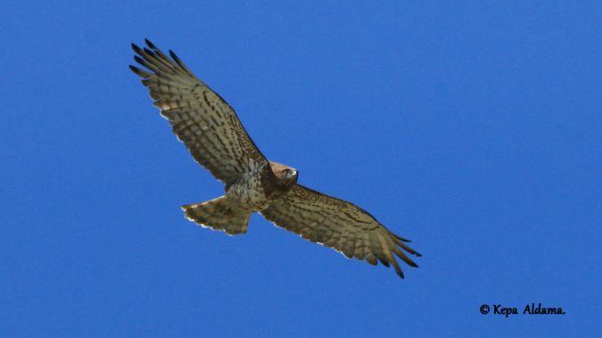 Short-toed Snake Eagle  - Kepa Aldama