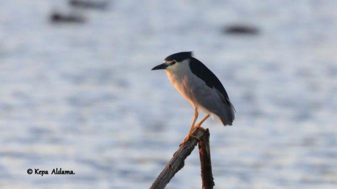 Black-crowned Night Heron  - Kepa Aldama