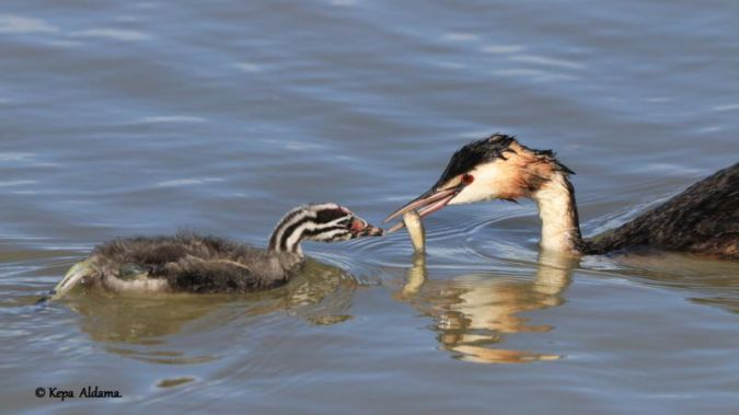Great Crested Grebe  - Kepa Aldama