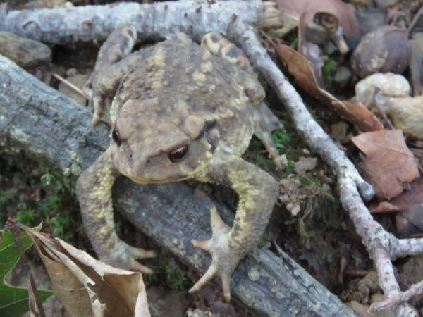 Common Toad (B. spinosus)  - Alfredo Herrero