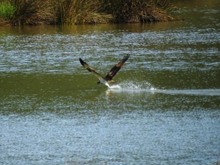 Osprey  - Selene Gancedo