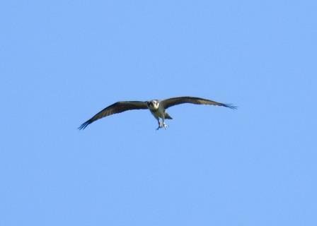 Águila Pescadora  - Selene Gancedo