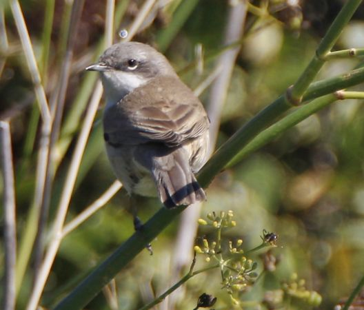 Lesser Whitethroat  - Juancar Dieguez