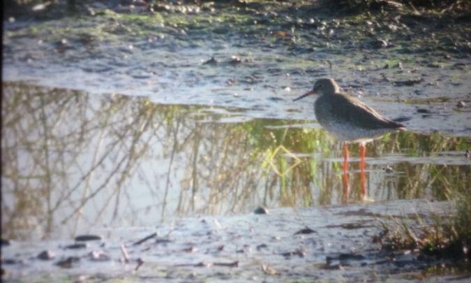 Common Redshank  - David Santamaría
