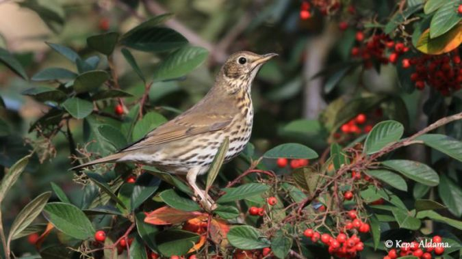 Song Thrush  - Kepa Aldama