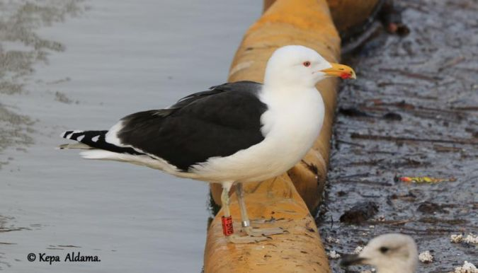 Great Black-backed Gull  - Kepa Aldama