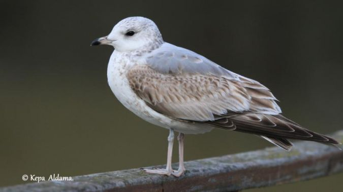 Common Gull  - Kepa Aldama
