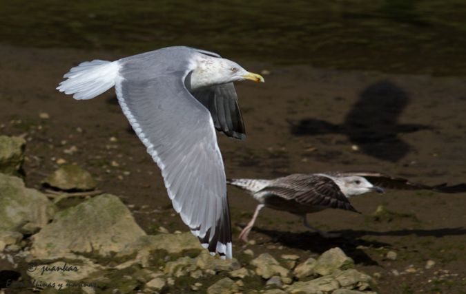Herring Gull (L.a.argentatus)  - Juan Carlos Andrés