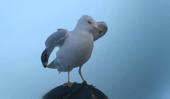Ring-billed Gull  - Arrizabalaga Hurtado