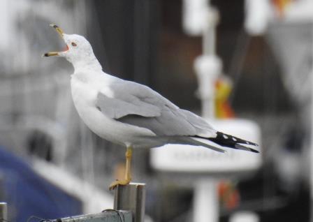 Ring-billed Gull  - Selene Gancedo