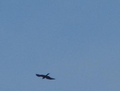 Black Kite  - Alexander Carriel