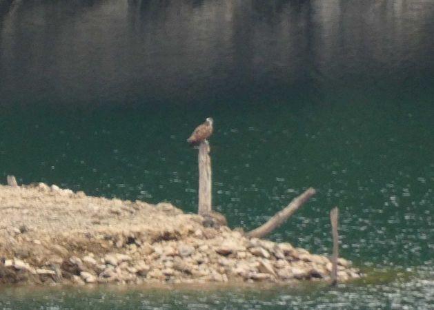 Osprey  - Joseba Amenabar