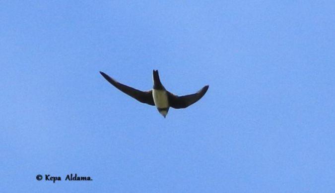 Alpine Swift  - Kepa Aldama
