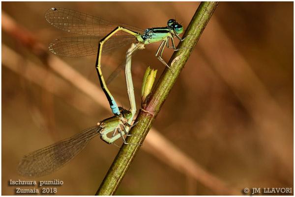 Small Bluetail  - Jose Maria Llavori Romatet