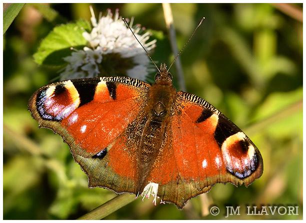 Peacock  - Jose Maria Llavori Romatet