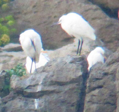 Western Cattle Egret  - Jon Zubiaur