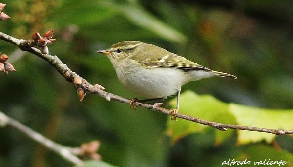 Yellow-browed Warbler  - Alfredo Valiente