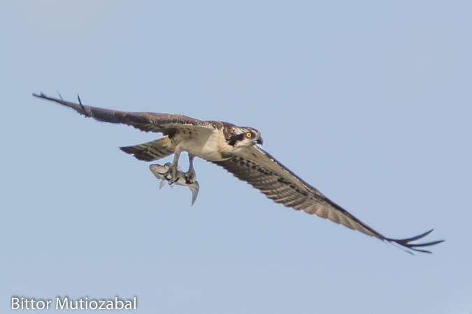 Osprey  - Bittor Mutiozabal
