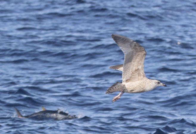 European Herring Gull (L.a.argenteus)  - Juancar Dieguez
