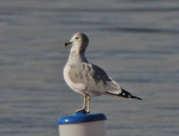 Ring-billed Gull  - Juancar Dieguez