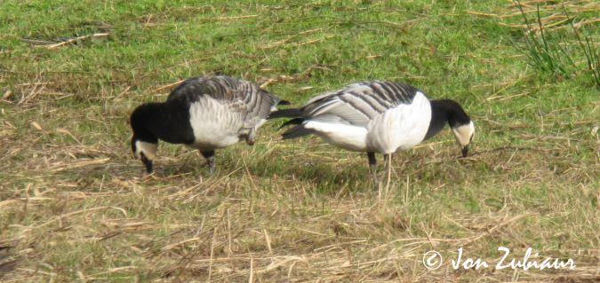 Barnacle Goose  - Jon Zubiaur