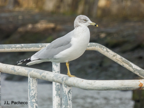 Ring-billed Gull  - Jose Luis Pacheco
