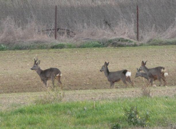 Roe Deer  - David Santamaría