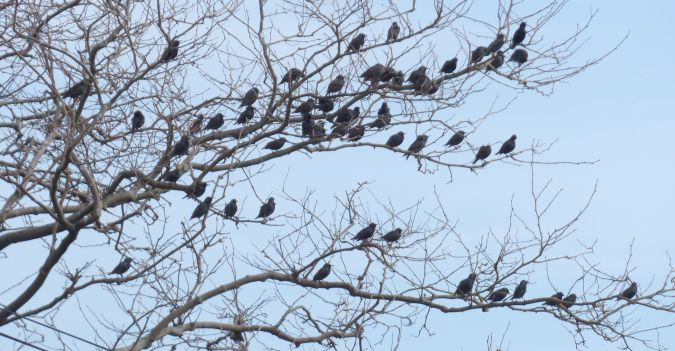 Common Starling  - Jon Zubiaur