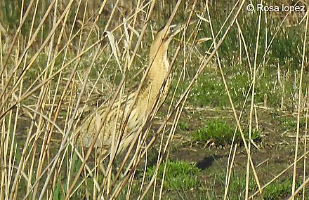 Eurasian Bittern  - Urdaibai Bird Center