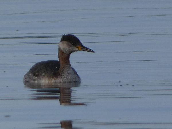 Red-necked Grebe  - David Santamaría