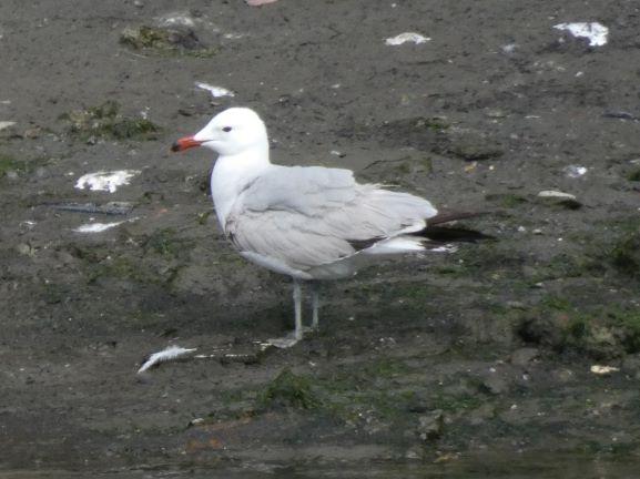 Audouin's Gull  - Joseba Amenabar