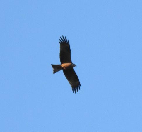Black Kite  - Aitor Urrutia